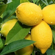 lemon tree branch with three lemons and leaves in background